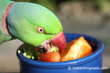 Indian Ring Neck Diet