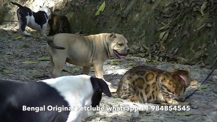 Bengal e Gatos Gigantes Criadores Ecologicamente Correta