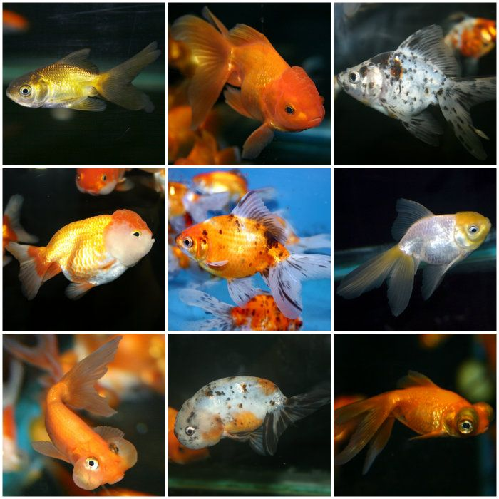 Veiltail Goldfish, Fancy Show Goldfish Goldfish Information and Care
