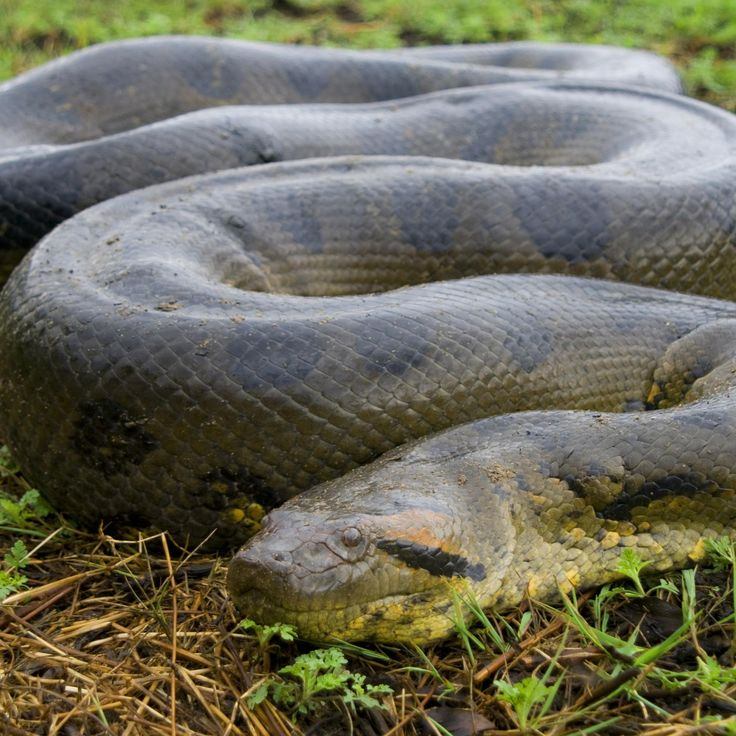 At up to 550 pounds, this South American snake is the largest snake in the world. Learn more about this monumental reptile in this feature.