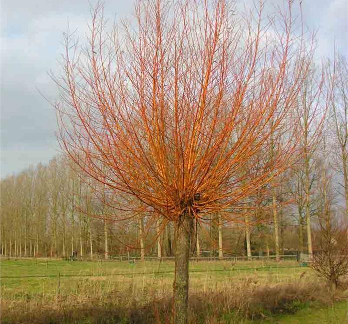 Salix alba 'Chermesina' / Rødgrenet pil