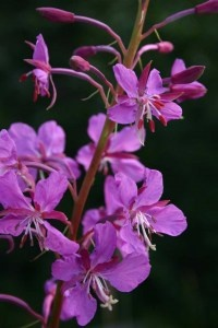 fireweed - to help when emotions get stuck