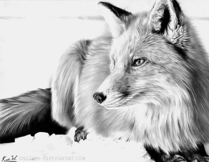 how to draw a snow fox