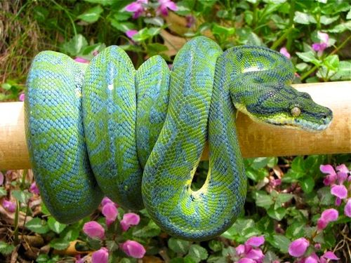 another green tree/carpet python hybrid.