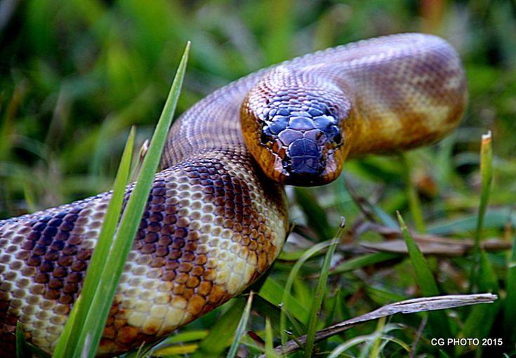 Woma Python  Aspidites ramsayi,Woma Python