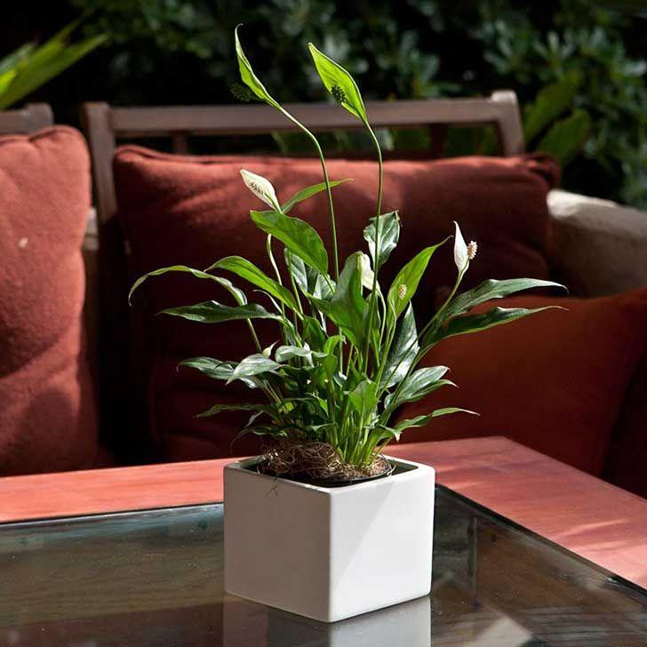 peace-lilly-small-076_3 Espatifilo Esta planta es perfecta para cualquier espacio donde se lave ropa o baños, ya que se especializa en remover esporas de moho. La planta en sí misma no requiere mucha agua o luz solar para sobrevivir e incluso produce hermosas flores que la convierten en una pieza decorativa. Además del moho, esta planta también puede eliminar el formaldehído y el tricloroetileno.