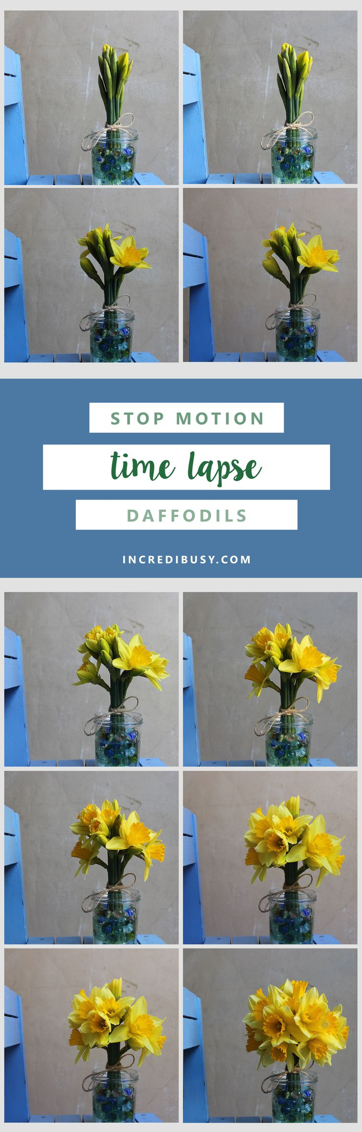 Stop Motion Animation - Daffodil Timelapse  Oh - this was quite a project - we shot these stills of daffodils over a period of four days, two years ago to the day!  We tried to make a stop FRAME/timelapse video back then and just couldn't get it to work - so today we had a go with StopMotion app on the iPhone.  Why did it take so long to photograph? We set the camera up in front of the Daffodils, and using a blue tooth remote control