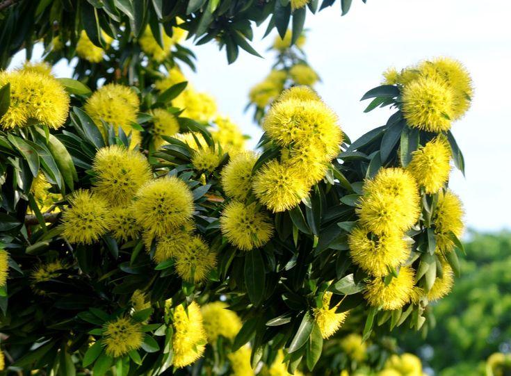 Golden Penda or Xanthostemon chrysanthus
