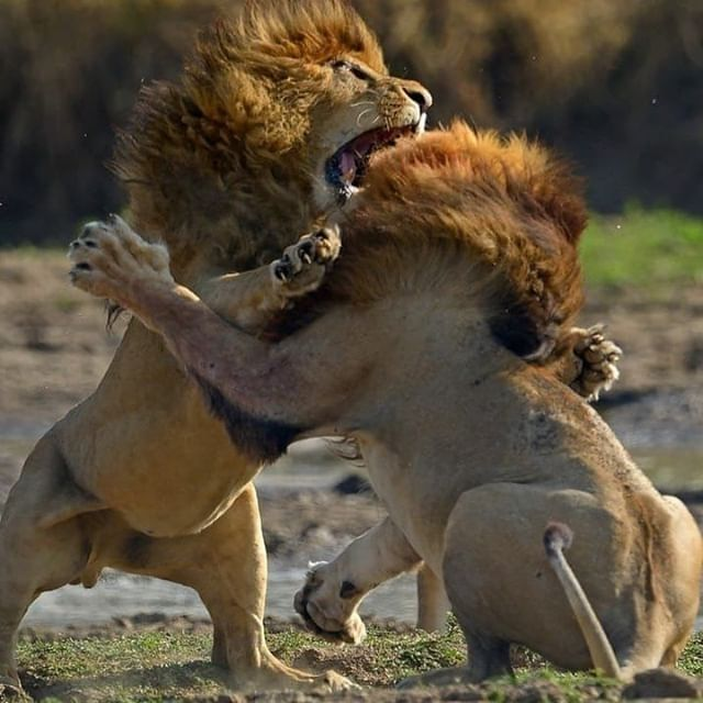 Brotherly Love Phot The Lion Sleeps Tonight Animals Wild