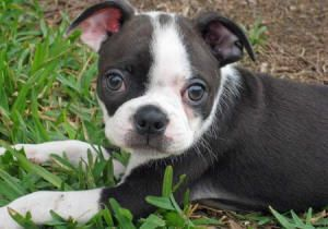 teacup boston terrier... Forget pugs! This dog is precious!!!