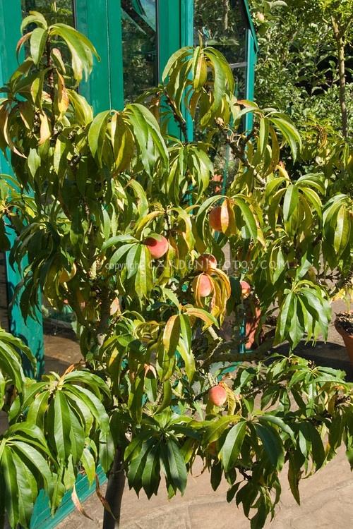 57 best fruit trees dwarf images on pinterest fruit for Peach tree designs