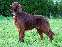 El setter irlandés es una raza de perro setter que tiene dos variantes: la primigenia era blanca y roja, y la posterior es únicamente roja (caoba).