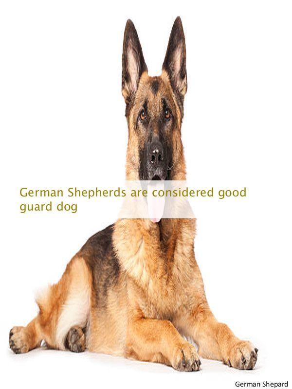 Been Looking For White German Shepherd Breeders German