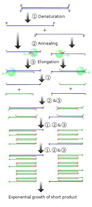 Polymerase chain reaction - Wikipedia, the free encyclopedia