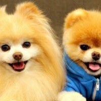 #dogalize Perro Boo: el perro más mono del mundo #dogs #cats #pets