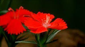 Risultati immagini per garofano rosso fiore