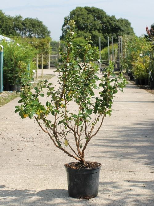 Escallonia Hedge White Escallonia hedging plants - Hedges Direct UK