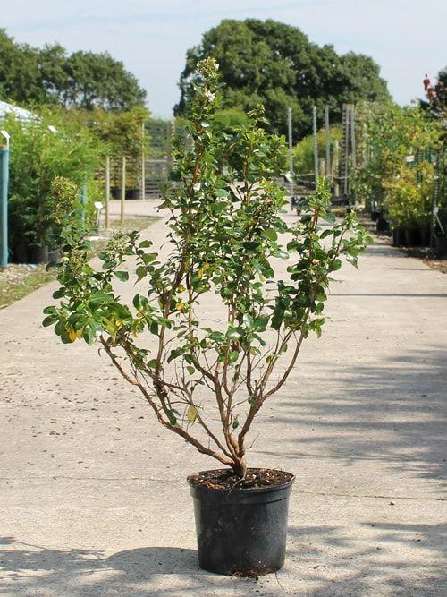 Escallonia Hedge White Escallonia hedging plants - Hedges Direct UK
