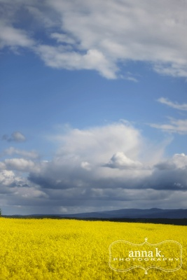 Vanderhoof, BC - beautiful canola fields and skies