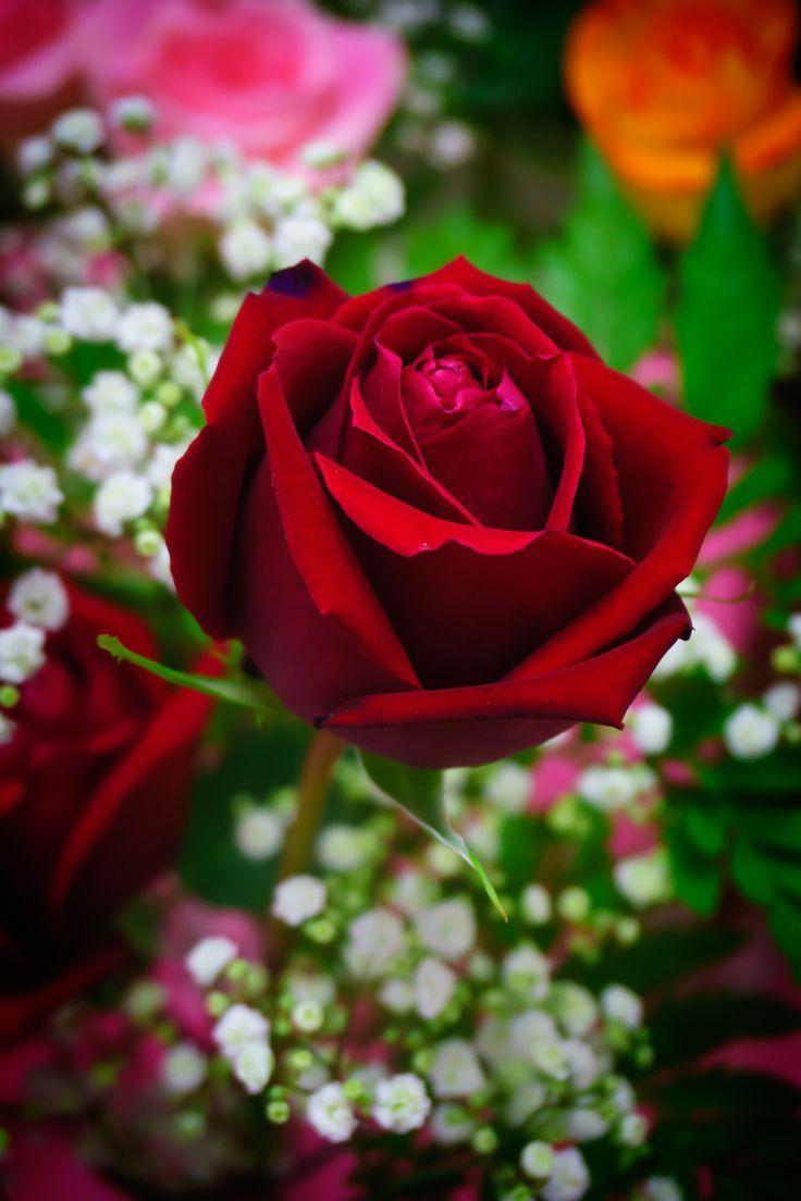 The 159 best rose images on pinterest art flowers blossoms and love roses are red izmirmasajfo