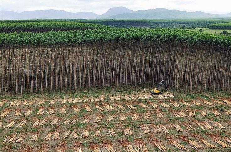"""A Settembre, al World Forestry Congress dell'ONU di Durban, Sud Africa, politici, industriali ed altri discuteranno sul """"futuro sostenibile"""" delle foreste e delle persone. Ma non ci potrà essere futuro sostenibile finchè ONU e governi non accetteranno che le vere foreste nullahanno in comune con le sterili piantagioni industriali."""