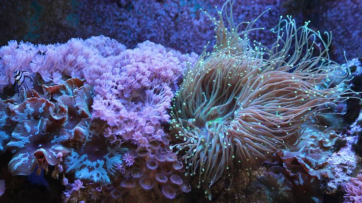 17 Best Ideas About Xenia Coral On Pinterest Sea Anemone