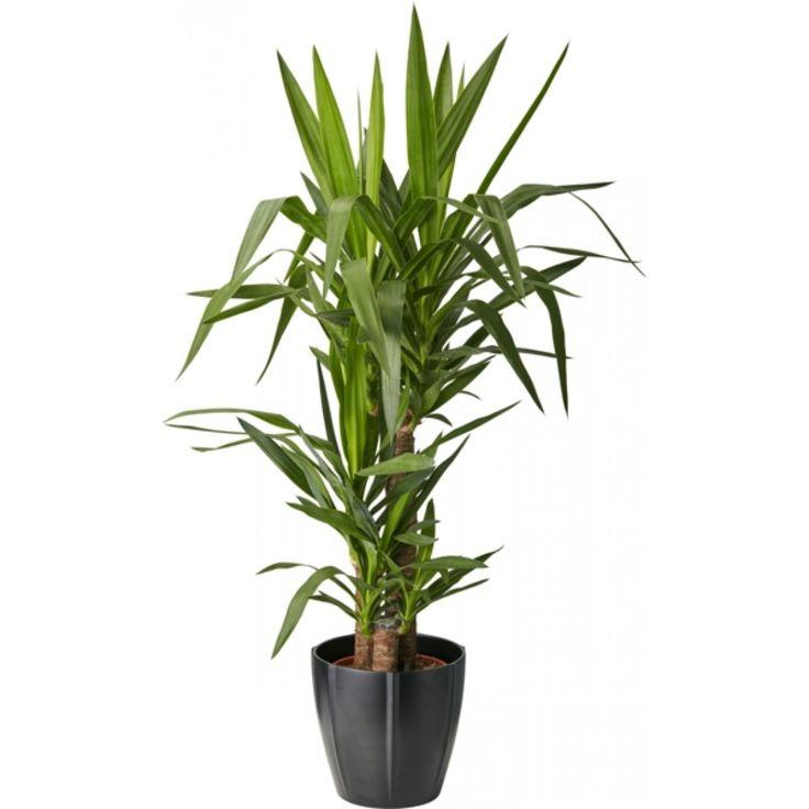 Robust, lättskött och flexibel palm med rosetter av svärdliknande, mörkgröna blad. ...