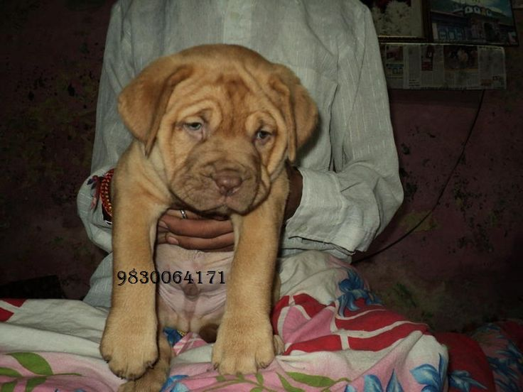 French Mastiff Puppies For Sale At Clawsnpawskennel@9830064171