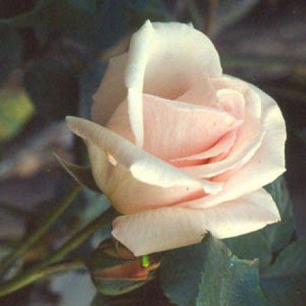 Ophelia Climber (Climbing Rose)