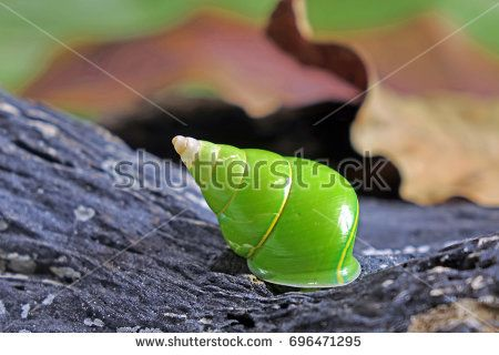 The Emerald green snail or Green tree snail, scientific name : Papustyla pulcherrima, from rain forest of Manus Island in Papua New Guinea, this species is now endangered, extremely rare and protected