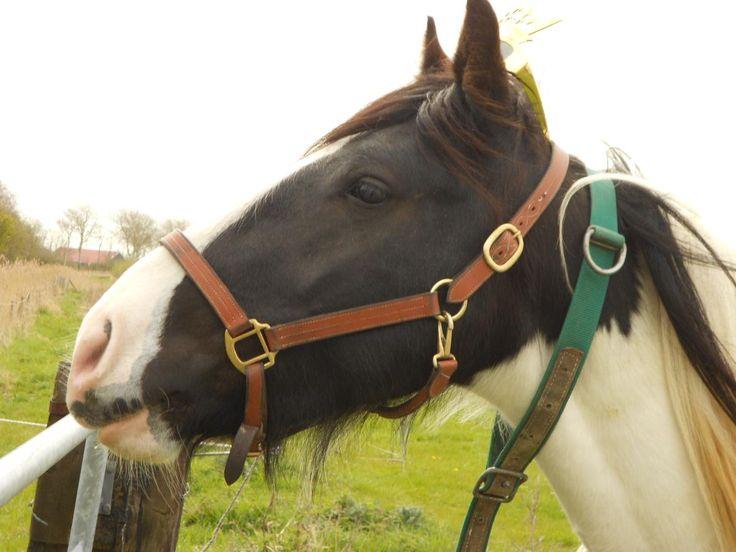 Paard te koop: Tinker - Allrounder - Hengst - drafthorse hengst 3jaar zadelmak lichtberenden | HorseStep