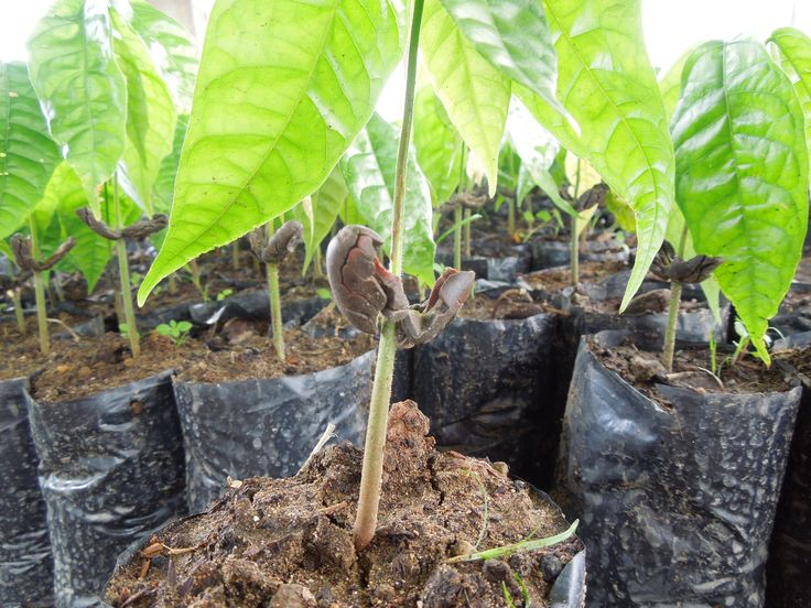 Seedling (see the cacao bean?) in Dominican Republic. Taza Chocolate