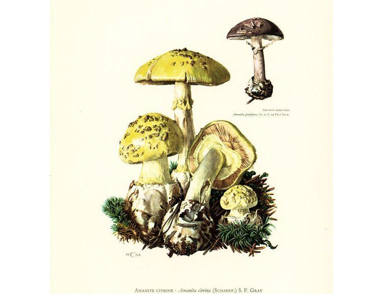 1962 Amanite citrine Planche Originale Identification Champignons Toxiques Vénéneux Illustrations Dessin Mycologie de la boutique sofrenchvintage sur Etsy