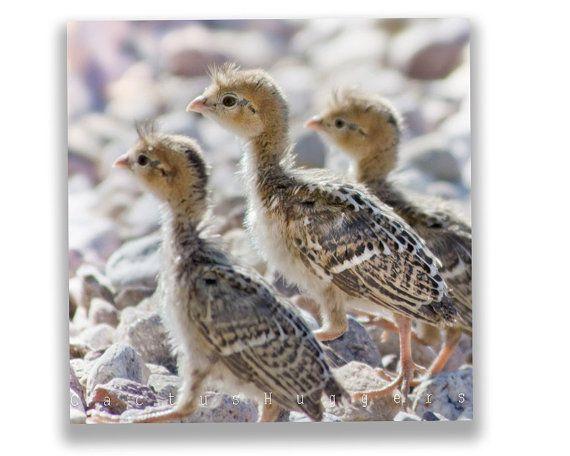 How to sex button quail