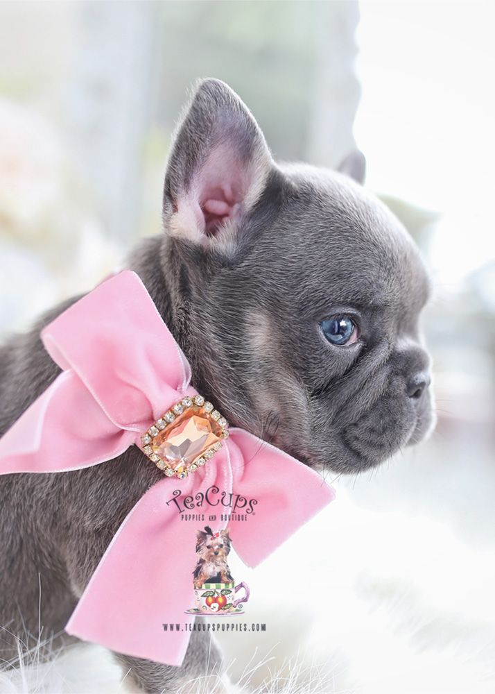 Beautiful Lilac Frenchie Puppy With Images Bulldog Puppies