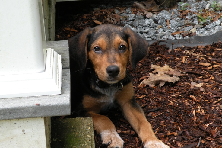 Lost this picture on my phone. So glad Maureen pinned it! This is Tebow as a young pup.