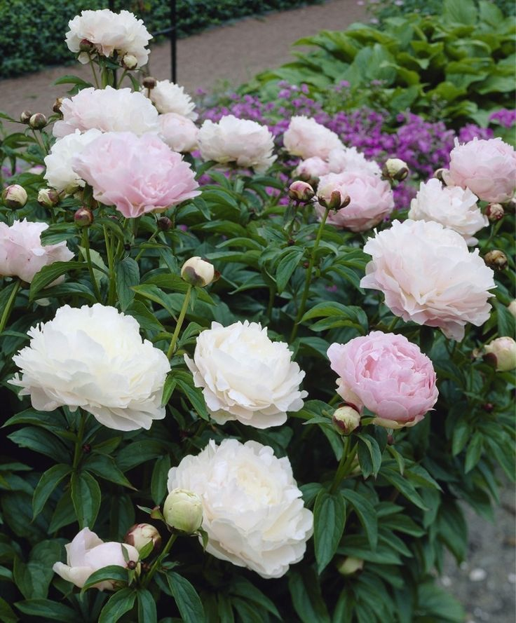 812 best Peony Love images on Pinterest   Peonies, Beautiful flowers ...