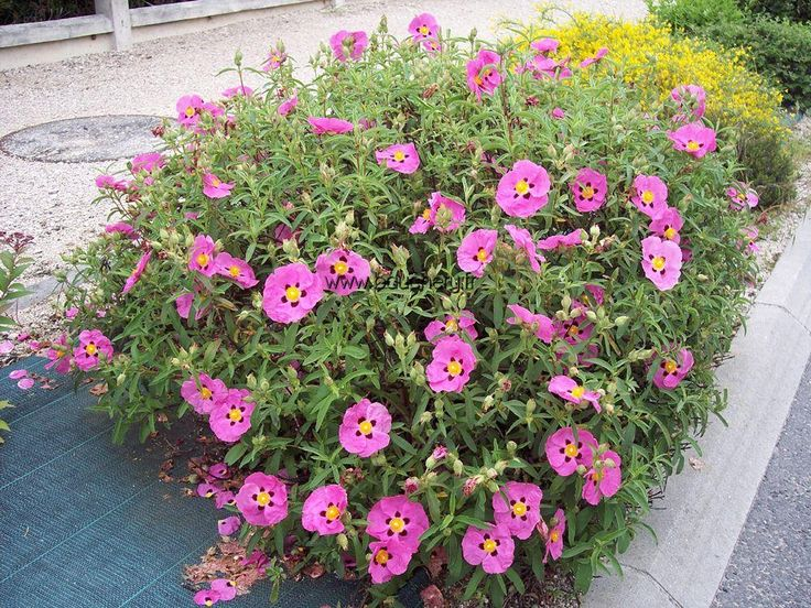 Cistus purpureous - rock rose. Small evergreen drought tolerant shrub
