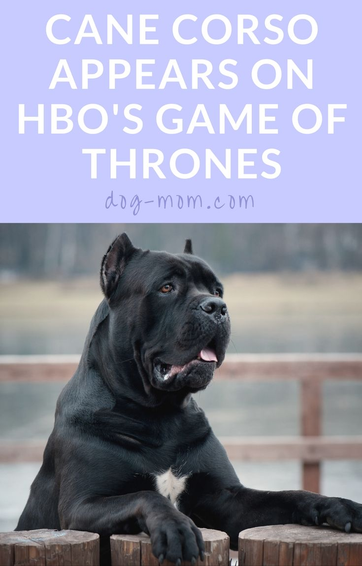 Cane Corso on Game of Thrones, Dog Breed on Game of Thrones, HBO, GOT, Ramsay Bolton, Ramsay Snow, Cane Corso Italiano, Italian Mastiff, Hounds in Game of Thrones