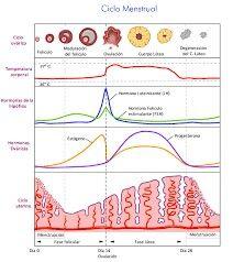 Fases de la menstruación.