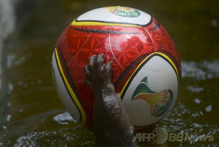 コロンビア・アンティオキア(Antioquia)県メデジン(Medellin)のサンタフェ動物園(Santa Fe Zoo)で、サッカーW杯ブラジル大会(2014 World Cup)の公式ロゴマークが描かれたボールで遊ぶカワウソ(2014年6月12日撮影)。(c)AFP/Raul ARBOLEDA ▼13Jun2014AFP|動物たちもW杯をエンジョイ!コロンビア http://www.afpbb.com/articles/-/3017595 #Santa_Fe_Zoo #Otter #Lutrinae #Loutre #Lontra #Fisi_maji #Berang_berang