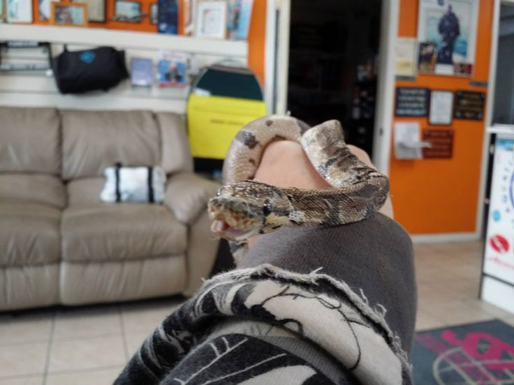 This is my newest snake I'm thinking of calling him Smiley, looking at him he looks to be smiling at the camera. He is maybe 2ft. Needs a lot of loving care. He was neglected hoping to get him looking good very soon. He is a Ball Python and should get to around 5 ft long.....