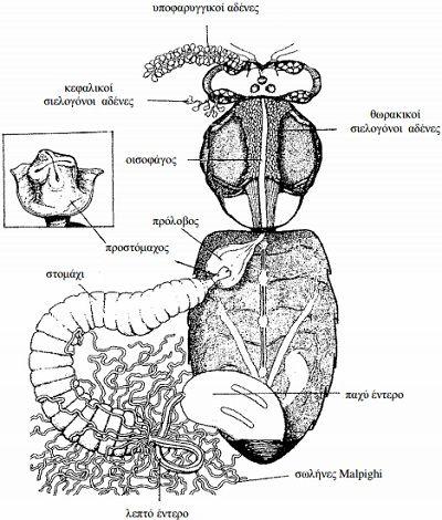 Εικόνα 17. Πεπτικό σύστηµα της µέλισσας. Αριστερά φαίνεται λεπτοµέρεια του προστόµαχου (από Dade, 1962).