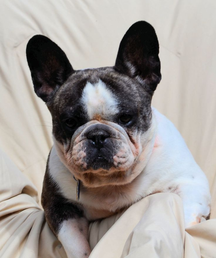 French Bulldog dog for Adoption in Bon Carbo, CO. ADN-656216 on PuppyFinder.com Gender: Female. Age: Young