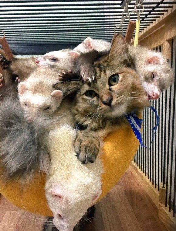 「捨てられた子猫が保護された先は6匹のフェレットが暮らす家だった。加速するフェレット化で毎日仲良く暮らしているよ。」の画像 : カラパイア