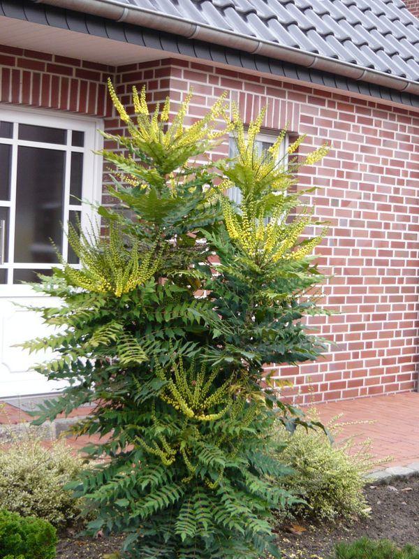 Die Mahonie ist nicht nur eine immergrüne Pflanze, sorgt also im Winter für grüne Farbmomente im Garten, sondern blüht auch in der kalten Jahreszeit in leuchtendem Gelb.