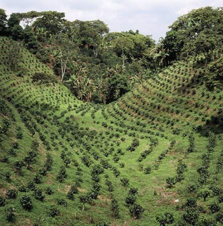 coffee plants grow on a plantation, or large farm, in Colombia.