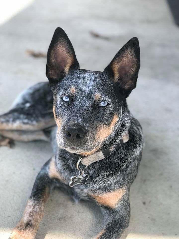 Pin By Yvonne On Australian Cattle Dogs Heeler Puppies Austrailian Cattle Dog Aussie Cattle Dog
