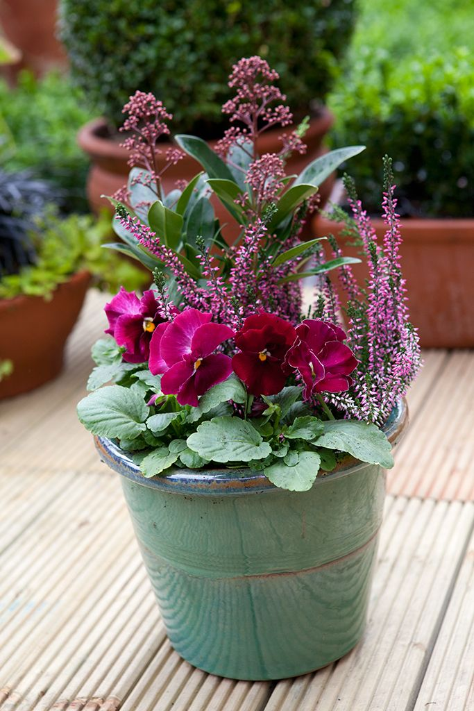 Pot for October colour: Skimmia japonica 'Rubella', heather and pansy 'Deep Pink'. Photo by Sarah Cuttle. For another container using winter-flowering pansies, visit http://www.gardenersworld.com/plants/pots-containers/spring/pansy-thyme-and-ivy-pot-display/1187.html