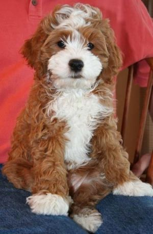 cockalier poodle: cocker spaniel, cavalier king charles spaniel, and poodle. by M.A.M.